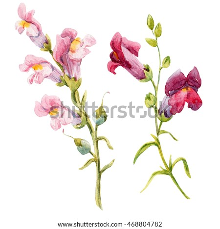 Watercolor painting pink flower snapdragons delicate stock watercolor painting pink flower snapdragons delicate set of small white flowers botanical illustration mightylinksfo