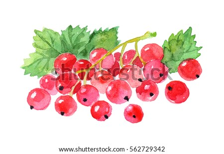 Watercolor red currant .