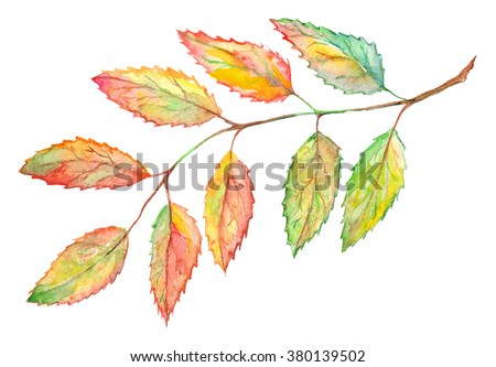 Watercolor rowan ashberry leaf branch botanical illustration isolated. - stock photo