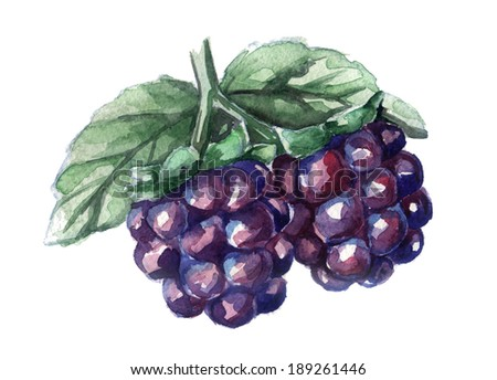 watercolor sketch of blackberries on a white background  - stock photo