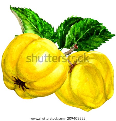 watercolor sweet quinces with leaves isolated - stock photo