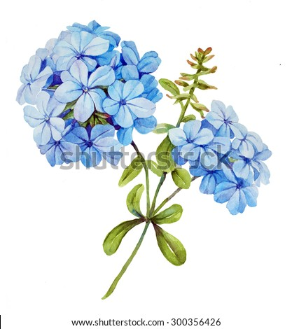 Watercolor with blue jasmine flower - stock photo
