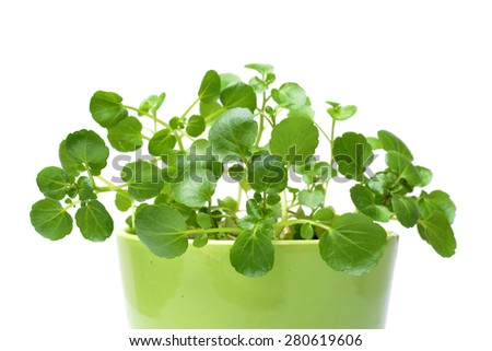 Watercress isolated on white background - stock photo