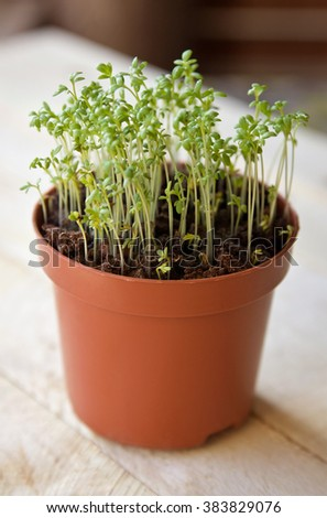 Watercress sprouts in the pot