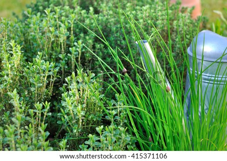 watering can in aromatic herbs in garden  - stock photo