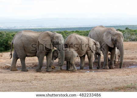 Watering Hole Momy Love The African Bush Elephant Family - The African bush elephant is the larger of the two species of African elephant.