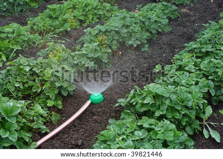 Watering of strawberry seedbeds with a sprayer