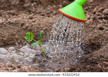 watering the seedling of marrow - stock photo