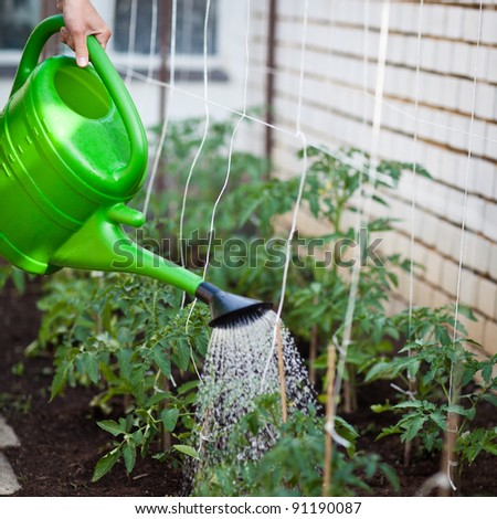 Watering young tomato vines in a greenhouse - stock photo