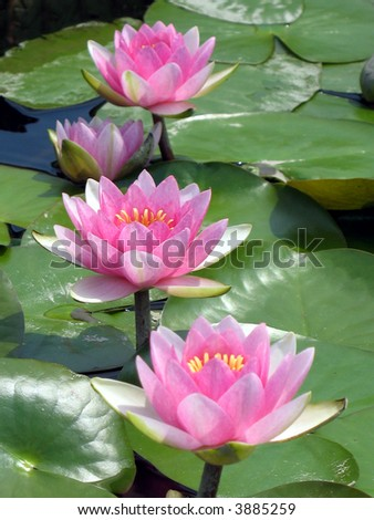Waterlilies in a pond - stock photo