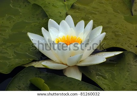 Waterlily with drops - stock photo
