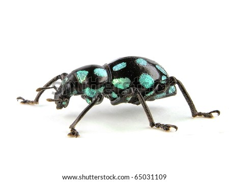 watermark weevil