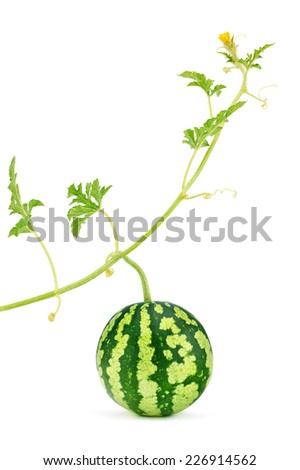 Watermelon fresh, juicy with green stem, leafs and yellow blossom, organic. Food close-up, isolated on white background - stock photo