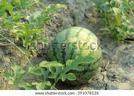 Watermelon on the green watermelon plantation - stock photo