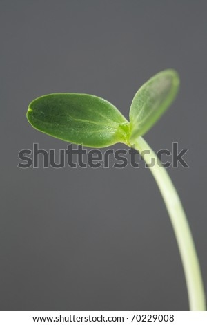 Watermelon Seedling - stock photo