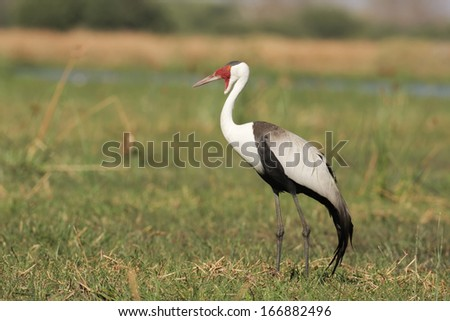 Wattled Crane South Africa Wattled Crane South Africa