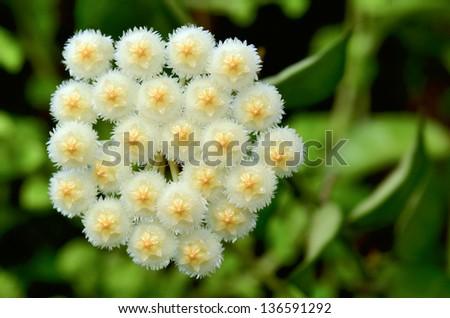 Wax plant (Hoya Lacunosa) - stock photo