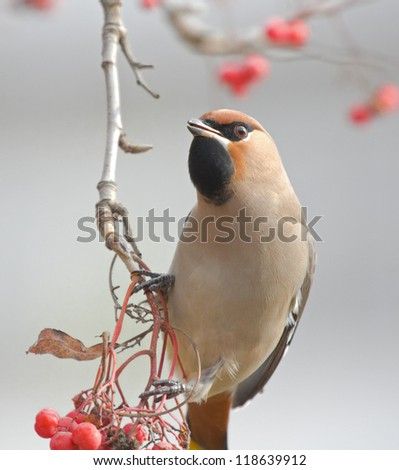 Waxwing on branch of mountain ash - stock photo