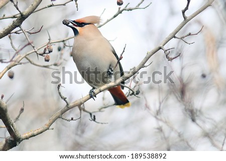 Waxwing on branches without leaves - stock photo