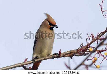 Waxwing perching on a branch in the wild - stock photo