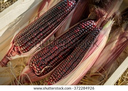 Waxy corn, Red corn, Purple corn - stock photo