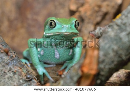 Waxy monkey leaf frog Phyllomedusa sauvagii in natural environment