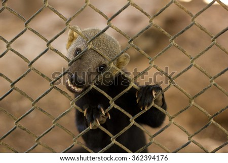 weasel in a cage