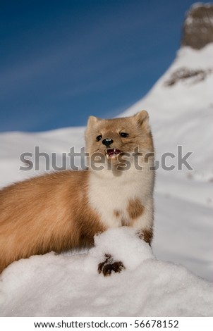 Weasel in the snow in Val di Fass Italy - stock photo