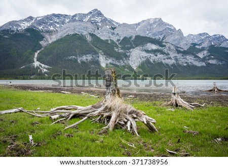 Weathered old tree stumps along the shore of a mountain lake in Alberta, Canada - stock photo