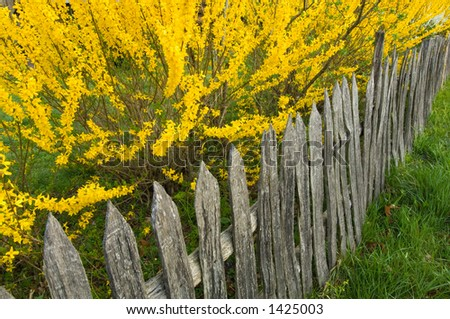 weathered picket wood fence and forsythia in spring bloom at pioneer farm - stock photo