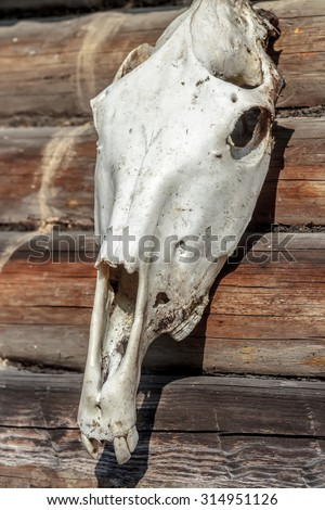 Weathered white horse skull on old timber wall as Halloween decoration - stock photo
