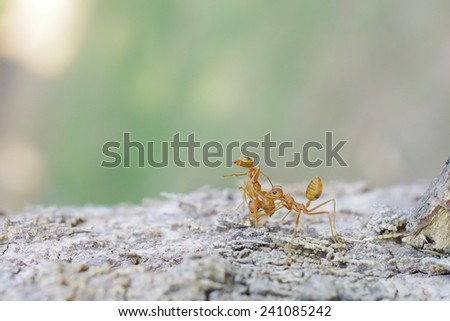 weaver ant carrying an another ant is walking on the tree bark - stock photo