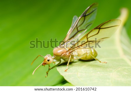 weaver ant queen on green leaf. - stock photo