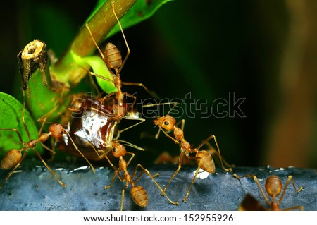 weaver ants are carrying the food - stock photo