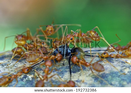 weaver ants are fighting with black ant on the tree bark in tropical forest - stock photo