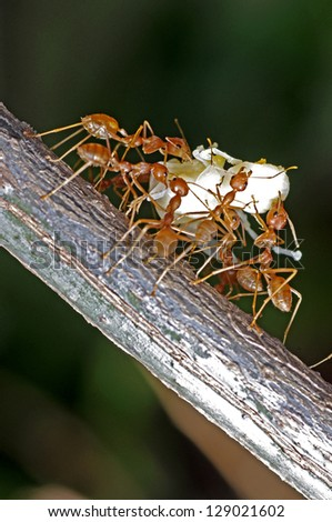 weaver ants are moving the larva - stock photo