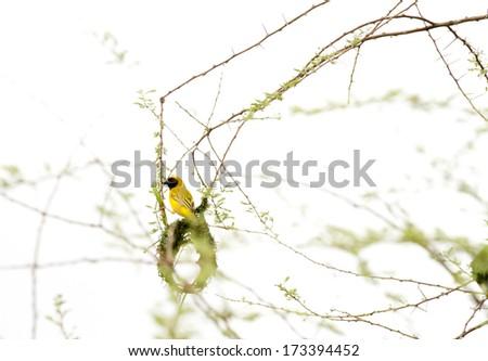 weaver bird at work - stock photo