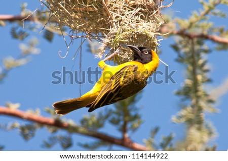 Weaver constructing nest, Ruaha National Park, Tanzania. - stock photo
