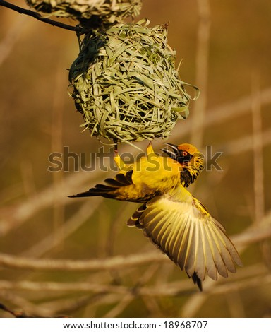 Weaver on nest 2 - stock photo