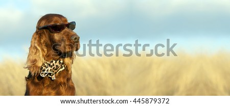 Website banner of a funny Irish Setter dog with sunglasses and scarf