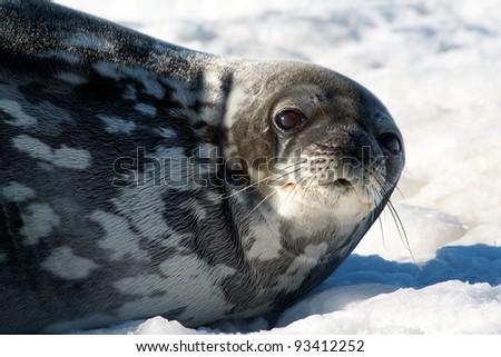 Weddell Seal - stock photo
