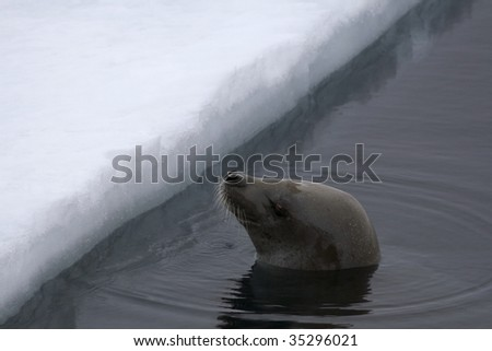 Weddell seal (Leptonychotes weddelli) in the water in the Weddell Sea, Antarctica - stock photo