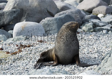 Weddell seal on grey rocks, Antarctica - stock photo