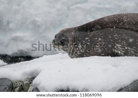 Weddell seal resting on the snow in Antarctica - stock photo
