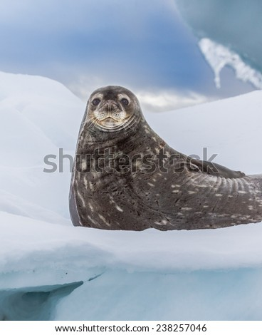 Weddell seal rests on ice pack in Antarctica - stock photo