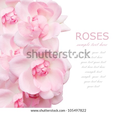 Wedding pink roses background isolated on white with sample text - stock photo