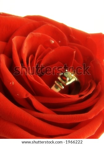 wedding ring into the rose  isolated on white - stock photo