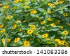 Wedelia or Sphagneticola Trilobata flowers background - stock photo