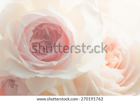 Wedgewwod roses, English rose, close up for background - stock photo