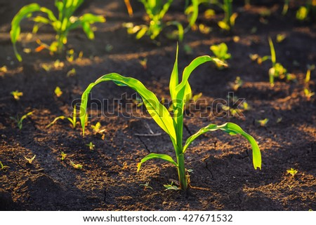 Weed control in corn crops, young maize plants rows in cultivated field. - stock photo
